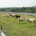 Someone decided to add soil, then grass, to half of the bridge, and make it a meadow for sheep. The sheep weren't used to people (citrologists) using the other, asphalted, half of the road. Behind the far guard rail you can see the (overgrown) pavement.